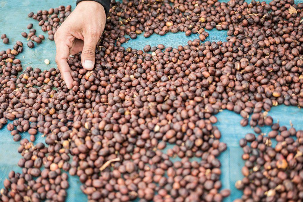 biji kopi asli Indonesia